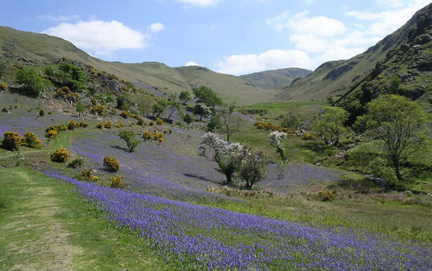Bluebells and blossom in Rannerdale